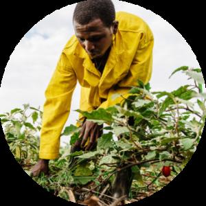 man tending crops